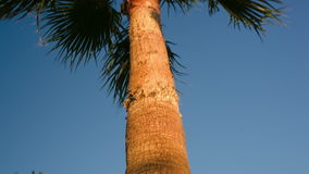 Palm tree on a windy day. Tilt shot of a huge palm tree with its leaves waving in the wind stock video