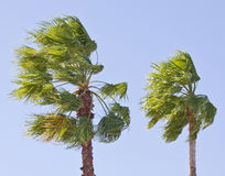 Palm tree on a windy sunny day royalty free stock photography