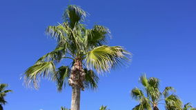 Palm tree on a windy sunny day stock video