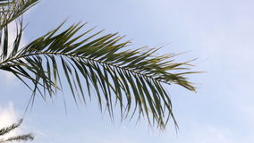 Palm tree in windy weather. With blue sky stock footage