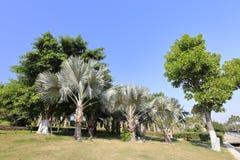 Palm tree, adobe rgb Stock Photography