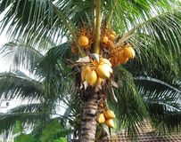 Palm tree with yellow coconuts. Coconut palm tree with clusters of yellow coconuts Stock Photography