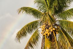 Palm tree with yellow coconuts. Over sky with rainbow Stock Photography