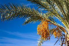 Palm tree with yellow fruits royalty free stock photography