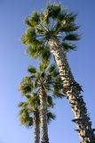 Palm Trees 1. Vertical shot of 3 palm trees on a cloudless blue sky Royalty Free Stock Images