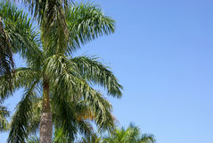 Palm trees. Tropical palm tree tops against a blue sky with room for text or copy Stock Photos