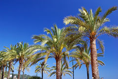 Palm trees. Stock Image