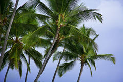 Palm trees Royalty Free Stock Image