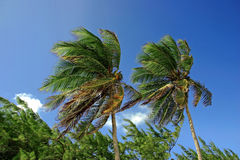 Palm trees. 2 palm trees swaying in the breeze Royalty Free Stock Images