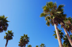 Palm trees. Looking up at palm trees and blue sky Royalty Free Stock Photography