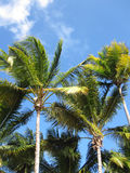 Palm trees. In tropical holiday destination of Dominican Republic Royalty Free Stock Photos