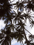 Palm trees. Plam trees in the sky Stock Photography