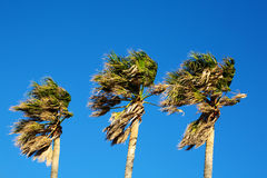 Palm Trees. Royalty Free Stock Photography