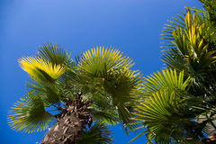 Palm trees. With green and yellow leaves Royalty Free Stock Photo