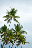 Palm trees. Hawaiian palm trees shot from below with sky Stock Photo