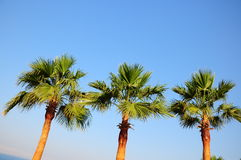 Palm trees. Three palm trees on blue sky Stock Photography