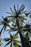 Palm Trees. I took this image relaxing under these palm trees at a beach Stock Photos