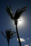 Palm Trees. In Bermuda - Backlit Royalty Free Stock Image
