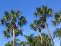 Palm trees. Against the sky royalty free stock image
