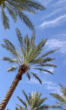 Palm Trees. Against blue sky Stock Photo