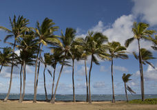Palm trees. In a row Royalty Free Stock Image