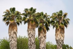 Palm trees. Four palm trees in Los Angeles, California Royalty Free Stock Photos