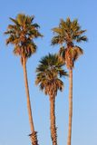 Palm trees. Tops of 3 palm trees against blue sky Stock Photos