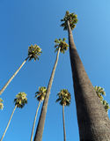 Palm trees. Tall palm trees with unbelievable thin and delicate trunks, photographed from below Stock Photos