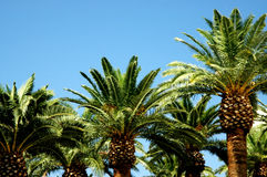 Palm Trees. Tops of palm trees with blue sky Royalty Free Stock Images