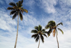 Palm Trees. Against Blue Sky Stock Images