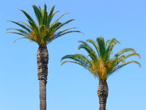 Palm Trees. Over blue sky Stock Photos