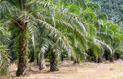 Palm trees. Image of palm trees planted in large scale for the purpose of producing palm oil. The distance between trees are kept according to the standard to Royalty Free Stock Photos
