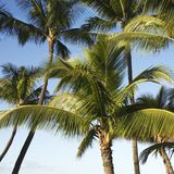 Palm trees. Royalty Free Stock Images