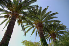 Palm trees. Coconut palm tree branches and leafs in blue sky, bottom to top view Stock Photos