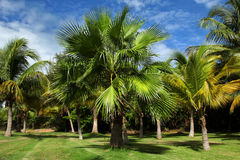 Palm Trees. On the green grass and blue sky background. Varadero, Cuba Stock Images