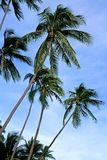 Palm Trees. This image was shot in Malaysia's Perhentian Islands Royalty Free Stock Photo