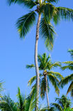 Palm Trees. Beautiful tall palm trees against a blue Carribean Sky Stock Photography