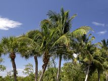 Palm Trees. A group of palm trees Royalty Free Stock Photography