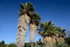 Palm trees. And clear blue sky Royalty Free Stock Photos