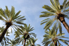 Palm Trees. Image of Palm trees taken at Miami Beach Royalty Free Stock Photo