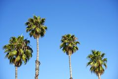 Palm Trees. Four Palm Trees on Blue Sky. Santa Barbara, California, USA. Nature Photo Collection Stock Photo