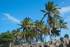 The Palm trees Royalty Free Stock Images