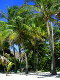 Palm trees. With coconuts at a resort in Varadero Cuba Stock Photography