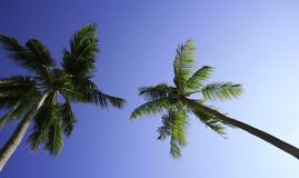 Palm trees. Two palm trees against blue sky Royalty Free Stock Photo