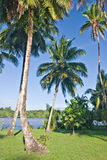 Palm Trees. On a bright summer morning. Tortuguero, Costa Rica Royalty Free Stock Photography