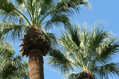 Palm trees. At a resort in Arizona Stock Photo