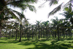 Palm trees. Field of densely packed palm trees Royalty Free Stock Image