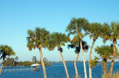 Palm trees. Tall Palm Trees along blue river with boathouse and dock in the background Stock Images