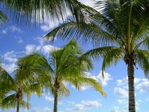 Palm Trees. Against blue sky with clouds stock photos