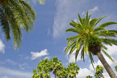 Palm trees. Leaves and branches on top of a palm trees against blue sky Stock Image